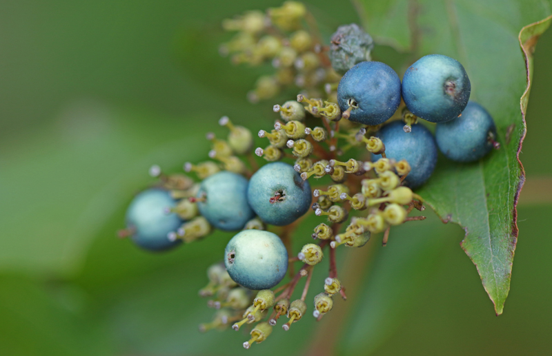Blue Berries Bob See Old Sturbridge Village